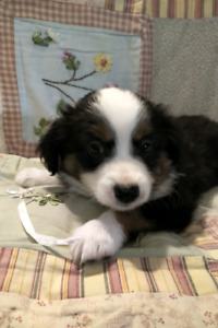 Beautiful Black Tri *Toy Australian Shepherd Puppies*