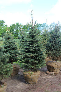 EVERGREENS - Pine, Blue Spruce, Fir, White Spruce, Hemlock