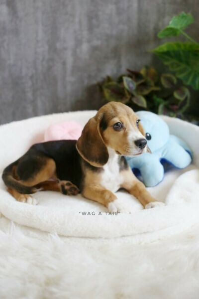 [SOLD] Beagle puppy available