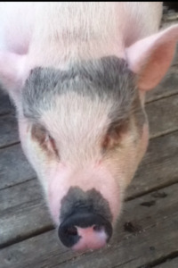 3 pot belly pigs med size free to good home!!!