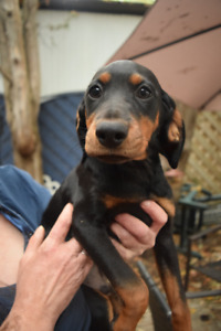 TWO LEFT-Dachshund/Miniature Pinscher Puppies