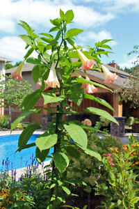 Large Angel Trumpet ( Brugmansia) Plants Pink or Yellow