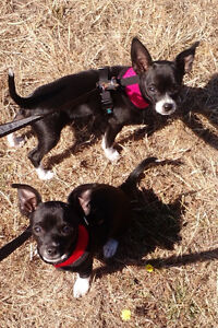 2 black and white Chihuahua puppies