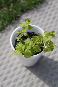 $1 a pot Perennial Plants