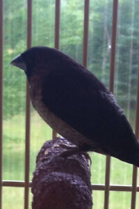 Male Society Finch needed