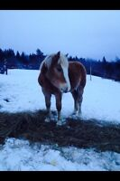 2 and a half year old haflinger