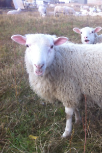lamb for sale
