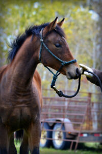 AQHA Bay Weanling Filly!