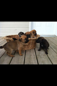 Puppy for sale/ chiot a vendre