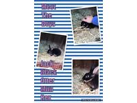 Black otter Mini lop Rex