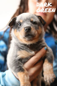 Purebred Blue Heeler pups for sale