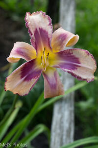 Daylily divisions