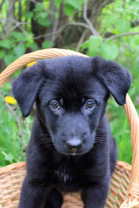 Black Lab/ Shepherd mix HURRY ONLY TWO LEFT