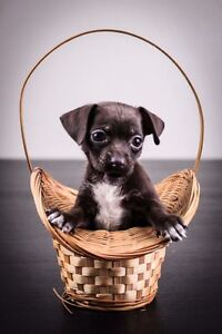 Cutest puppy - chihuahua x poodle