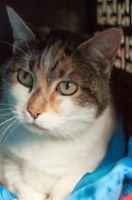 Female cat free to good home desexed vaccinated,chipped and wormed Greystanes Parramatta Area Preview