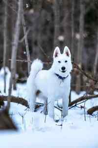 Samoyed & Husky mixed breed 1 year looking for  NEW HOME