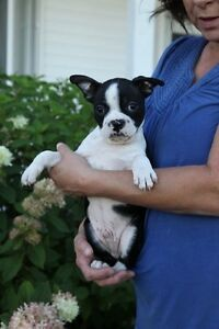 8 Beautiful Black and White Boston Terriers for Sale !