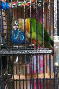 Maroon-Bellied Conure with Cage