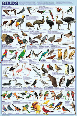BIRD ORDERS POSTER (61x91cm) EDUCATIONAL WALL CHART SPECIES DIAGRAM LICENSED NEW