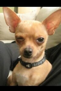 chihuahua beige collier rouge