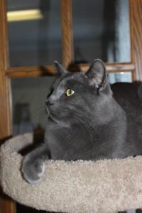 Male Russian Blue Cat Intact