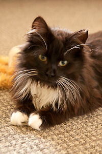 Meet DOMINO..Long Haired Sweetie Boy..Shy & Timid..Fixed/Shots