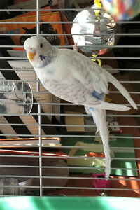 2 year old female budgie and cage