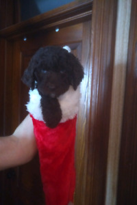 Doodle Mini's Ready to go Dec 14th Santa came early!