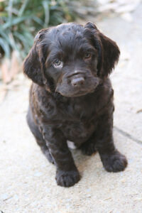I am looking for a spaniel puppy