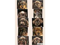 Staff /Yorkie puppy's