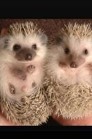 Mother and daughter hedgehogs