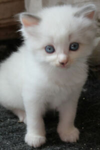 ADORABLE RAGDOLL KITTENS AVAILABLE FOR RESERVATION