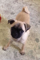 Sweet female pug puppy for sale!!