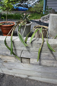Dragon Fruit Cacti Gatineau Ottawa / Gatineau Area image 2