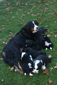 BERNESE MOUNTAIN X RETRIEVER PUPPIES