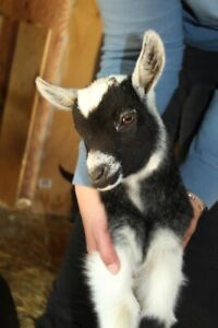 3 Lovely goats to a good forever home!