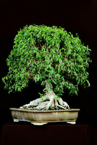 Live Tropical Bonsai - Miniature Fig