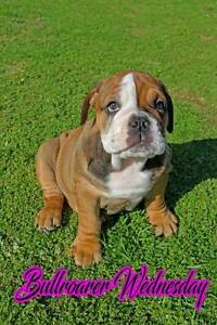 Australian Bulldog Pups Tamworth Tamworth City Preview