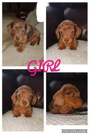 Dachshund - Dogs & Puppies for Sale | Page 3/6 - Gumtree