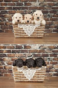 Adorable LABRADOODLE Puppies FOR SALE In Ontario!