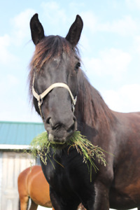 Percheron Mare for sale