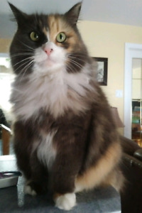LOST CAT : TIMBERLEA ROYAL OAKS