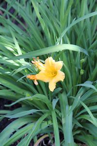 Day lillies - stella d'oro