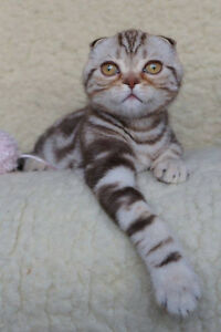 REGISTERED SCOTTISH FOLD IMPORTED FROM EUROPE