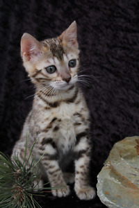 Fun, loving , intelligent Bengals For sale