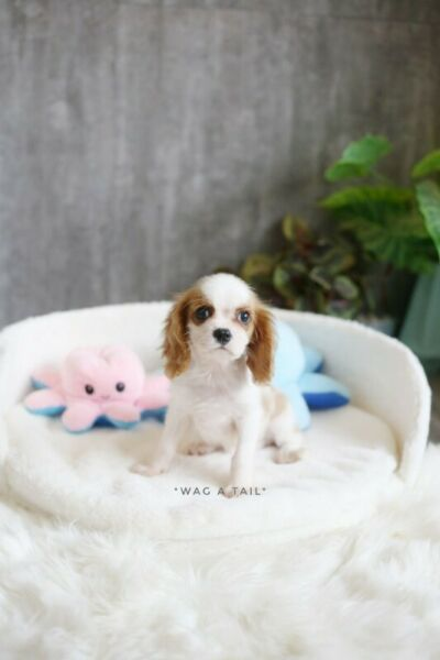 Cavalier King Charles Spaniel puppies avavilable [HDB Approved]