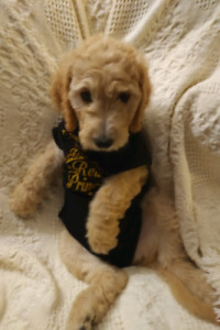 Doodle Puppies almost gone! - Read ENTIRE AD FIRST