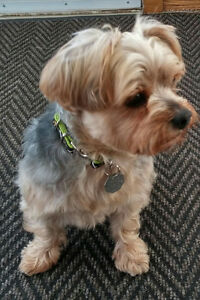 Looking to Rehome our Yorkie