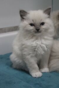 Chatons Ragdoll kittens  ALL SOLD THANKS