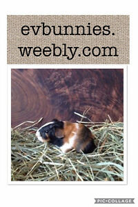 Adorable tortoise shell color baby boy GUINEA PIG!